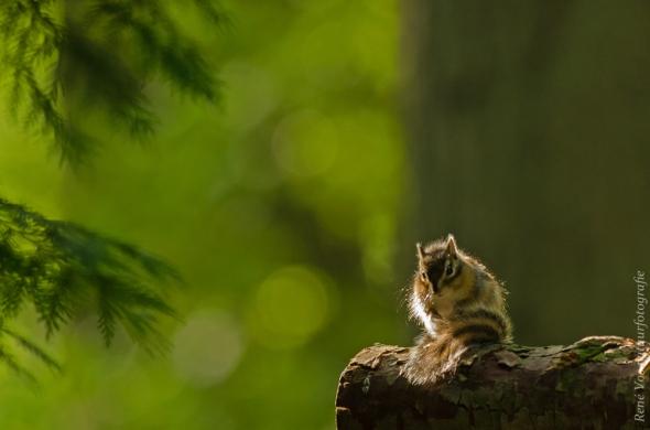 Siberische grondeekhoorn in tegenlicht